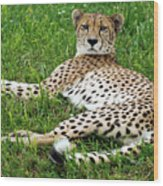 A Cheetah Resting On The Grass Wood Print