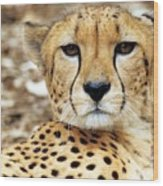 A Cheetah's Portrait Wood Print