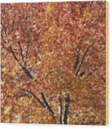 A Claret Ash Tree In Its Autumn Colors Wood Print