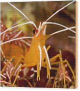 A Cleaner Shrimp Perches On An Exposed Wood Print