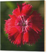 A Close Up Of A Dianthis Flower Wood Print