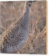A Close-up Of A Sharptail Grouse Wood Print