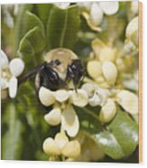 A Close View Of A Bumblebee Pollinating Wood Print