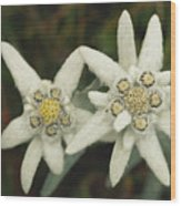 A Close View Of An Edelweiss Flower Wood Print