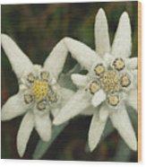 A Close View Of An Edelweiss Flower Wood Print