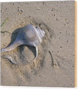A Conch Shell Lies In The Sand Wood Print