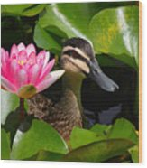 A Curious Duck And A Water Lily Wood Print