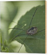 A Daddy Longlegs Spider Sits On A Leaf Wood Print