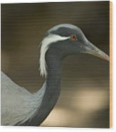 A Demoiselle Crane Anthropoides Virgo Wood Print by Joel Sartore