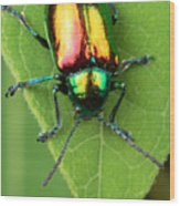 A Dogbane Leaf Beetle, Wood Print