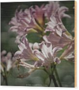 Peppermint Surprise Lily - A Floral Abstract Wood Print