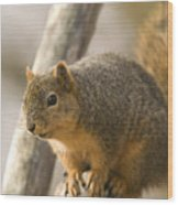 A Fox Squirrel Sciurus Niger Perches Wood Print