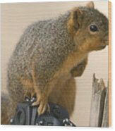 A Fox Squirrel Sciurus Niger Sits Wood Print