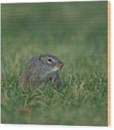 A Free-roaming Ground Squirrel At Omaha Wood Print