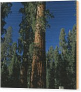 A Giant Sequoia Tree Towers Wood Print