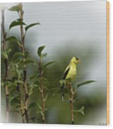 A Goldfinch In A Pear Tree Wood Print