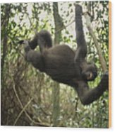 A Gorilla Swinging From A Vine Wood Print by Michael Nichols