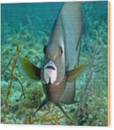 A Gray Angelfish In The Shallow Waters Wood Print by Michael Wood