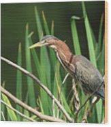 A Green Heron Stalks Prey Wood Print