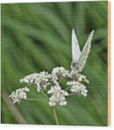 A Green-veined White (pieris Napi) Wood Print