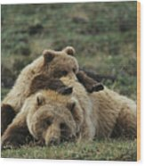 A Grizzly Bear Cub Stretches Wood Print