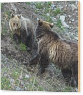 A Grizzly Moment Wood Print