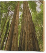 A Group Giant Redwood Trees In Muir Woods,california. Reaching F Wood Print