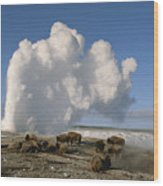 A Group Of American Bison Rest Wood Print
