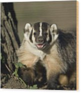 A Hand-raised Badger At The Home Wood Print