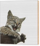 A Hand-raised Bobcat Reacts As Its Held Wood Print