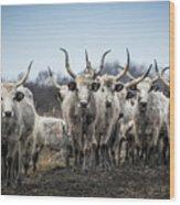 Grey Cattle Herd Wood Print