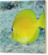 A Juvenile Blue Tang Searching Wood Print