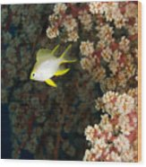 A Juvenile Golden Damsel Fish Shelters Wood Print