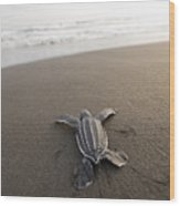 A Leatherback Sea Turtle Hatchling Wood Print