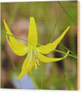 A Lilly In Bloom  Wood Print