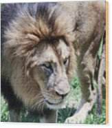 A Male Lion, Panthera Leo, King Of Beasts Wood Print