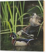 A Male Wood Duck Swims Past Its Mate Wood Print