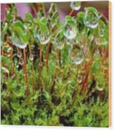 A Microcosm Of The Forest Of Moss In Rain Droplets Wood Print