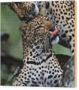 A Mother Leopard, Panthera Pardus Wood Print