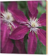 A Pair Of Clematis Flowers Wood Print