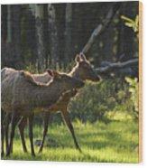 A Pair Of Cow Elk  Wood Print