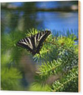 A Pale Swallowtail Wood Print