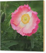 A Pink Poppy Portrait. Wood Print
