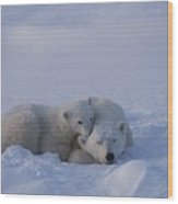 A Polar Bear Cub Ursus Maritimus Rests Wood Print by Tom Murphy