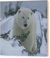A Polar Bear In A Snowy, Twilit Wood Print