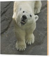 A Polar Bear Looks Up At Its Observers Wood Print