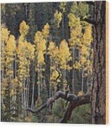 A Ponderosa Pine Tree Among Aspen Trees Wood Print
