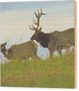 A Portrait Of A Large Bull Elk Following A Cow,rutting Season. Wood Print