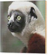 A Portrait Of A Sifaka Primate, A Large Lemur Wood Print
