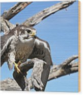 A Prairie Falcon Against A Blue Sky Wood Print